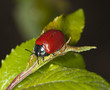 Red poplar leaf beetle (Chrysomela populi) Macro photo.