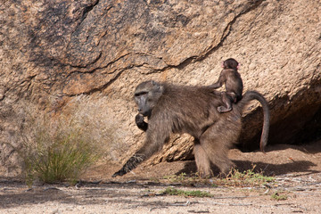 Baboon with a baby