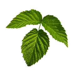 Raspberry Leaf isolated on a white background with clipping path