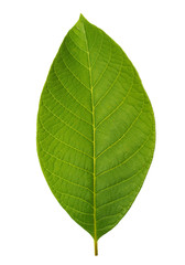 Walnut leaf isolated on white background with clipping path