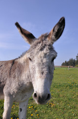 Close-up of a donkey (Equus asinus) looking into the camera