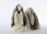 beautiful shih tzu with long hair