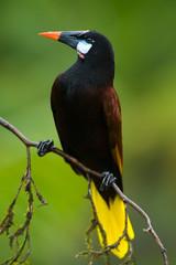 Montezuma Oropendola in Costa Rica