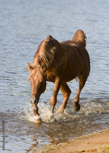 arabian horse in river