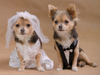 Dog's wedding-male and female chihuahua dressed as bride/ groom
