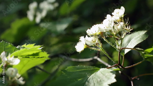 Blossoming hawthorn. Five clips in one.