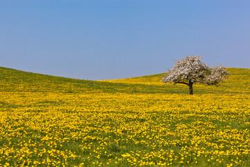 Löwenzahnblüte in Oberschwaben
