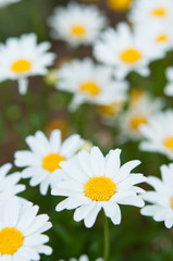 満開の白い菊