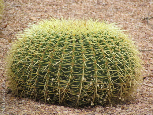 cactus coussin de belle m re echinocactus grusonii photo libre de droits sur la banque d. Black Bedroom Furniture Sets. Home Design Ideas