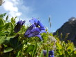 Enzian Frühlingsblume in den Alpen