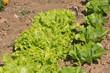 culture de salades 43