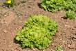 culture de salades 39