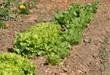 culture de salades 36