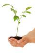 Junger Baum wächst in den Händen einer Person