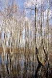 spring water in birches forest
