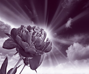 monocromatic picture of peony flower and sky