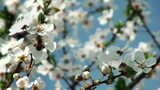 bee pollinating flowers of cherry tree poster