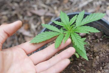 Hanfanbau Cannabispflanze