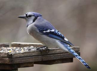Blue Jay on a Feeder