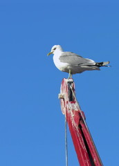 Nordic saagull on a crane