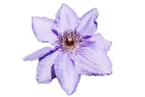Single blue clematis - isolated