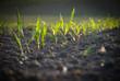 Getreide wachstum - 32659724