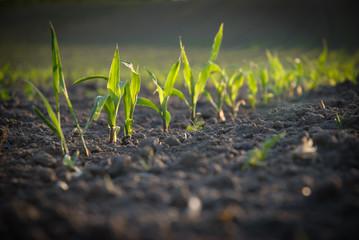 Getreide wachstum