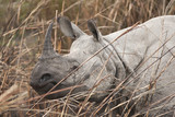 Wild Indian Rhinoceros at Kaziranga National Park, India
