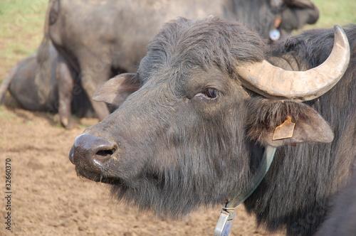 Plexiglas Buffel bufala