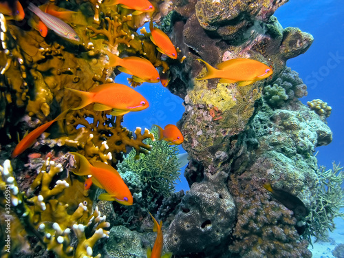 Fototapeta Shoal of anhthias fish on the coral reef