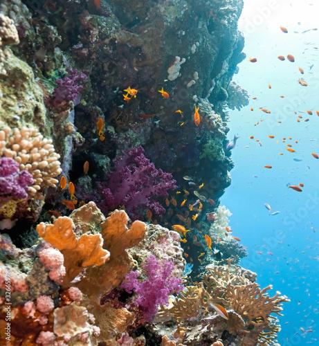 Fototapeta Shoal of anithias fish on the coral reef
