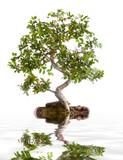 Bonsai ve vodě