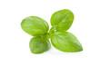 Fresh sprig of basil, isolated