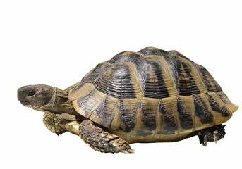 Turtle isolated on white background testudo hermanni