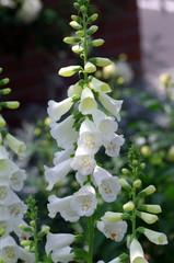ツリガネソウの花