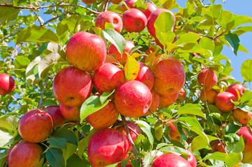 Apple Tree © Scruggelgreen
