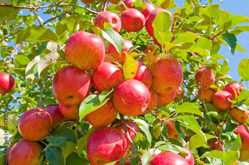 Apple Tree - 32673555