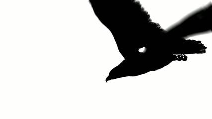 flying eagle in black on white background