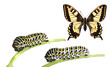 Caterpillars of the swallowtail (Papilio machaon)
