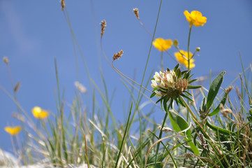 Blumenwiese, Alpenblumen, Gräser