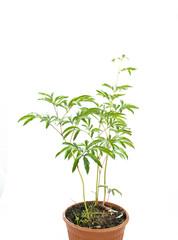 young shrub peony