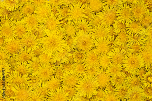 Yellow background with dandelion