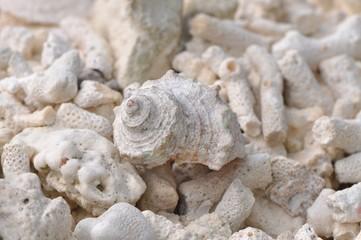 Weiße Muschel vor weißen Korallen