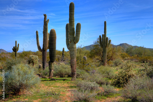 Canvas Cactus Saguaro Cacti in Spring