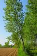 pioppeto alberi 1603