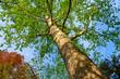 platano alberi 1605