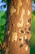 platano alberi 1616