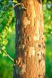 platano alberi 1617
