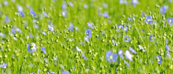 champ de lin fleuri