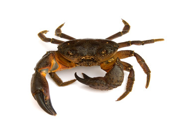 Crab on white background